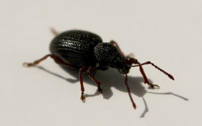 a black weevil with red to brown legs and antennae