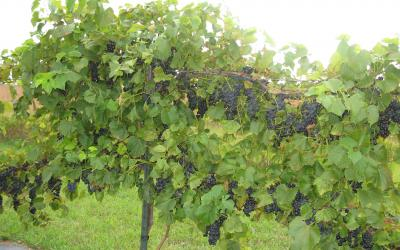 a lush, green grape vine with clusters of dark, purple grapes