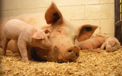 A sow and her piglets rest in dry and clean pen. Courtesy: USDA