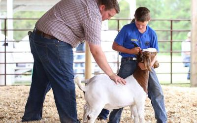 a father and son inspecting a show goat in a competition.