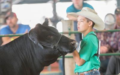 male 4-H youth showing a black beef cow