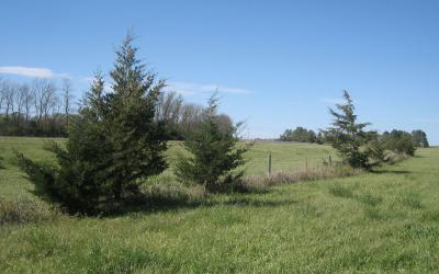 several medium-size cedar trees growing along a fence