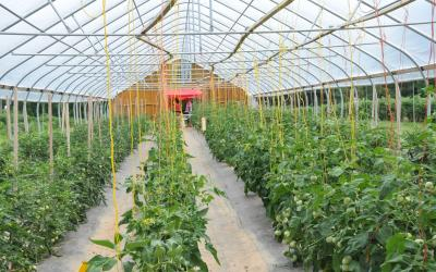 Tomatoes growing in a high tunnel. Courtesy: USDA