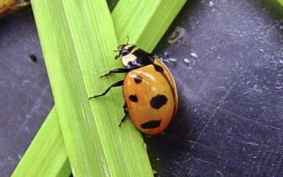an orange lady beetle with nine black spots
