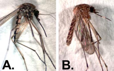 "Two mosquitoe samples side-by-side. The one on the left is labeled ""A"". The right one is labeled ""B""."