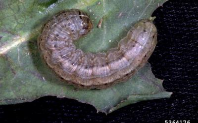: Gray caterpillar with dark markings, white splotches and a white stripe running down the middle of its back.