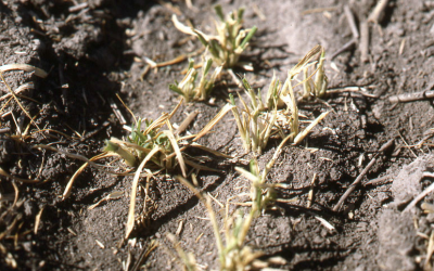 Brown wheat plants that have obvious feeding injury to them due to cutworm caterpillars.