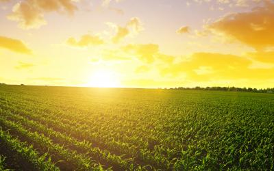 Sun rising over a vast spring landscape with green corn emerging from the soil.