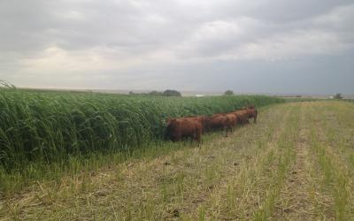 A grass forage blend grows in a central SD field as Red cattle graze.