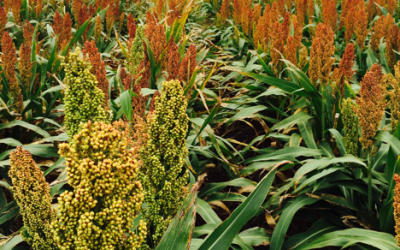 close-up view of sorghum plants in a field
