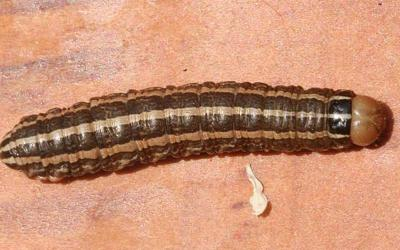 A shiny caterpillar with a light brown head, dark brown body, and three yellow stripes down the length of its back.