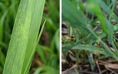 Left: A close-up of two wheat leaves showing light yellow streaks, a symptom of wheat streak mosaic virus. Right: Winter wheat leaves with small dark brown lesions surrounded by a yellow halo, a symptom of tan spot.