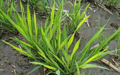 Young winter wheat plants with light yellowish green leaves, a symptom of nutrient deficiency.