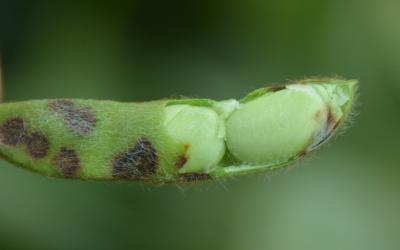 A green soybean pod with frogeye leaf spot symptoms. The pod is partially open to reveal developing seed at the end of the pod with frogeye leaf spot symptoms developing.