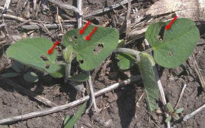 Green soybean plant with holes on the leaves (indicated by red arrows) caused by bean leaf beetle feeding.