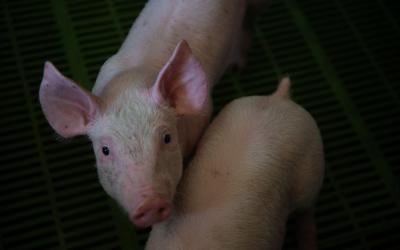 Two young pigs inside a pork production facility.