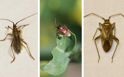 Three types of plant bugs. From left: Meadow plant bug, Lygus bug, and alfalfa plant bug.