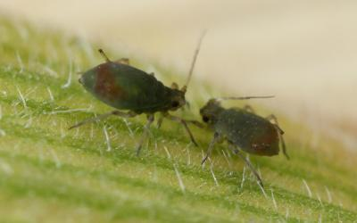 Two, dark green aphids on a bright green leaf.