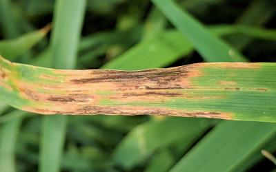 Oat leaf with water-soaked, brown longitudinal lesions on the top-half of the leaf blade.