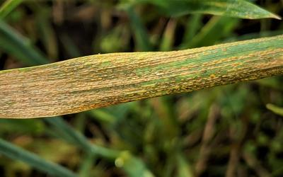 Wheat blade exhibiting brown, crusting strip rust pustules running laterally throughout the blade.