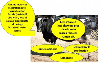A spotted, black-and-white dairy cow with yellow callouts explaining symptoms of heat stress, including: rumen acidosis, reduced milk production, lameness, less intake & less chewing plus bicarbonate losses reduces human pH. Panting increases, respiration rate, loss of carbon dioxide (metabolic alkalosis) loss of saliva's bicarbonate (drooling), increased water losses.