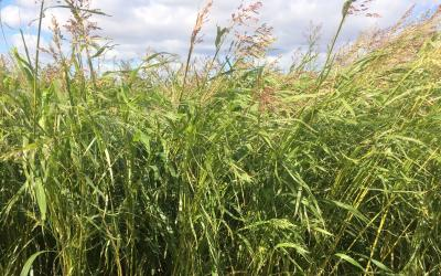 A tall, grassy, warm-season cover crop blend grown in Central South Dakota.