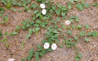 a green, vine-like plant with white flowers growing across a patch of brown, sandy soil.