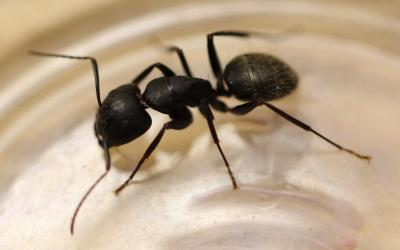 Top view of a black colored ant inside of a clear plastic container.
