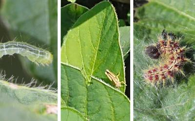 Three common soybean defoliating pests. From left: Green cloverworm, grasshopper nymphs, and thistle caterpillar.