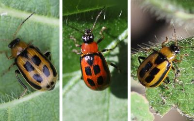 Three colored bean leaf beetles. From left: brown, red, and yellow.