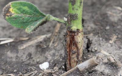 Base of soybean stem with orange larvae present under the epidermis.