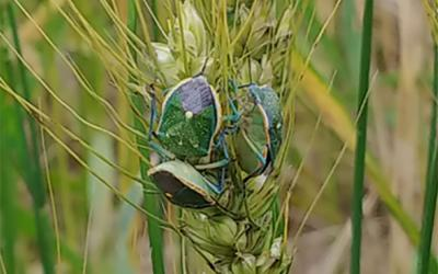Green wheat with many green stink bugs present on it.