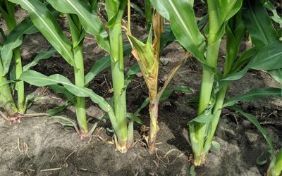Corn plants with noticable rotting near the bottom stem.