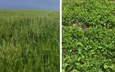 Two groups of cover crops. Left: Oats. Right: Radish.
