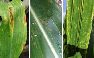 Symptoms of three common corn diseases. From left: anthracnose leaf blight, common rust and eyespot.