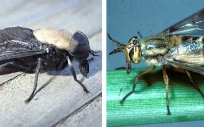 Two flies side-by-side. The left fly is a Western horse fly. The right fly is a deer fly.