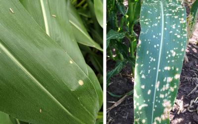 Two corn diseases displayed side-by-side. The left corn plant has holcus spot lesions on its leaves. The right has paraquat drift injury.