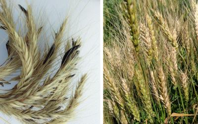 Two diseased wheat plants side-by-side. The wheat heads on the left have ergot bodies throughout. The wheat plants on the right are infected with Fusarium head blight.