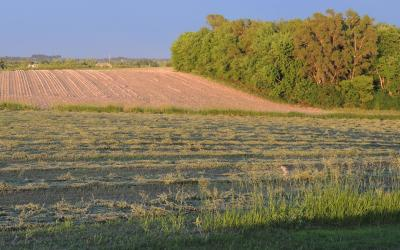 A green cut alfalfa field dries as the sun sets.