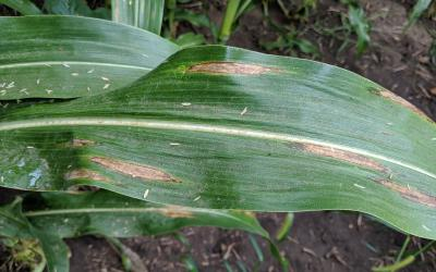 "Corn leaf with ""cigar"" shaped tan to gray lesions throughout."