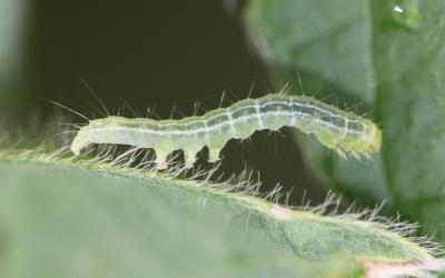 Green caterpillar with white stripe present on the side of the body. Caterpillar has three pairs of abdominal prolegs.