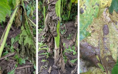 Symptoms of three emerging sunflower diseases. From the left: Bacterial Stem Rot, Sclerotinia Basal Rot, and Sunflower Rust.