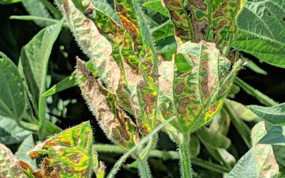 Soybean plant with with yellow-chlorotic blotches between leaf veins and noticable browning due to sudden death syndrome.
