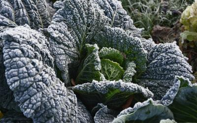 A Kohlrabi plant with broad, frost-covered green leaves.