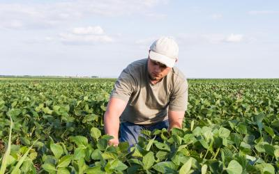 A young man in a gray shirt and white cap scouting a soybean field for soybean aphids.