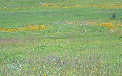 A lush, native South Dakota pasture with a variety of grasses, flowers, and plants growing throughout.