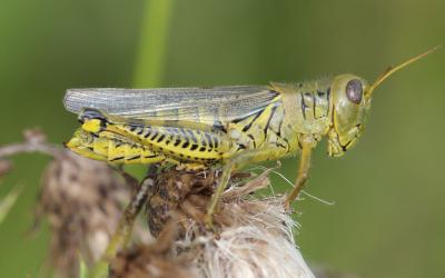 Green and yellow grasshopper with black chevron markings on hindlegs.