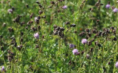 Canada thistle growing in a pasture.