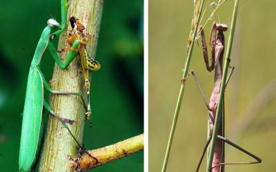 Two common praying mantises. The English mantis and the Chinese mantis.