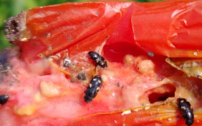 Black beetles with orange or yellow spots feeding on a ripe tomato.